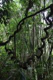 Giungla di bambù del vite della foresta pluviale e immagini stock