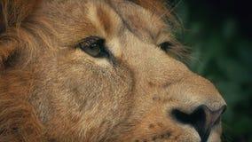 Giungla di Lion Pricks Ears Up In stock footage