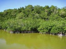 Giungla di Mangroove nella regione selvaggia dell'America Centrale fotografia stock libera da diritti
