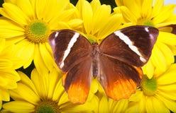 Giungla Glory Butterfly Fotografia Stock