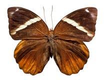 Giungla Glory Butterfly Fotografia Stock Libera da Diritti