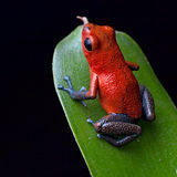 Giungla rossa della Costa Rica della rana del dardo del veleno Immagini Stock Libere da Diritti