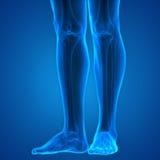Giunti della gamba del corpo umano Fotografie Stock Libere da Diritti