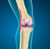Giunto di ginocchio umano. Fotografia Stock