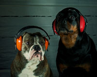 Dog with hearing protection. Bulldog and a Rottweiler with hearing protection of the new years eve stock photos