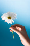Give a flower. A hand holding a flower to give Stock Image