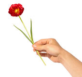 Give flower. Hand giving beautiful red flower isolated Royalty Free Stock Photos