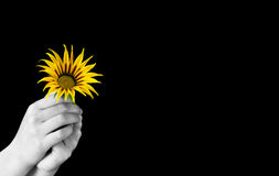 Give a flower. Hands holding an yellow flower Royalty Free Stock Image