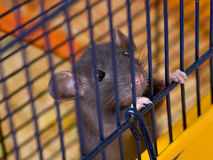 Give freedom. The small black rat sits in a cage Royalty Free Stock Photos