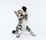 Give me!!!. Little kitten demands his toy royalty free stock photography