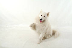 Give me five. Samoyed dog with paws up stock images