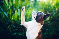 Give me a five - boston terrier giving five. Give me a five - friendship - boston terrier giving five royalty free stock photography