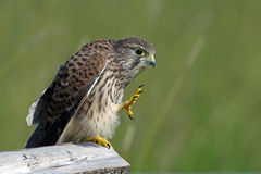 Give me five!. Seems the juvenile kestrel (Falco tinnunculus) say in Uppland, Sweden stock photos