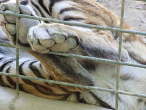 Give me five. Tiger paws on the cage Royalty Free Stock Images