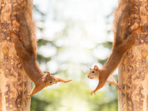 Give me a hand. Close up of  two red squirrels standing on their sides against tree reaching out Stock Photos