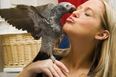 Give me a Kiss!. Pet African Grey Giving His Owner a Kiss Royalty Free Stock Images