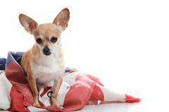 Give me liberty. Chihuahua standing in american flag Stock Photo