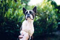 Give me a paw - friendship - boston terrier touching paw. With woman`s hand, handshake royalty free stock photo