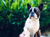 Give me a paw - friendship - boston terrier touching paw. With woman`s hand, handshake stock photo