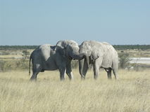 Two elephants showing effection Stock Photos