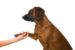 Give paw. Bavarian mountain dog give the paw Royalty Free Stock Photos
