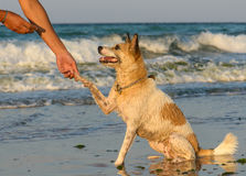 Give paw. Portrait of a small dog shaking paw with its master on the beach in the sunset sun Royalty Free Stock Photos