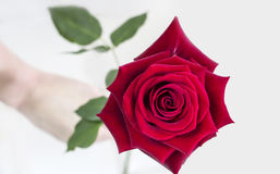 Give rose Royalty Free Stock Images