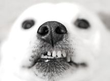 Give us a kiss. Close-up of dog snout with crooked teeth. Only the snout and teeth are in focus, eyes and background is blurred Stock Photos