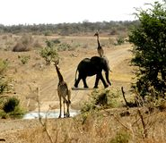 Give Way to Elephants. 2 Giraffe Give Way to an Elephant on dusty road Stock Photo