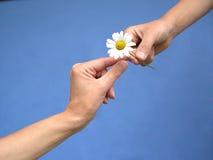 Gives a daisy away. To a dear friend Stock Photo
