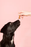 Giving dog a cookie Stock Image