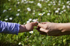 Giving. Female hands giving daisies to a small childs hand reaching for it Stock Images