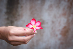 giving a flower. Royalty Free Stock Photos