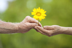 Giving flower. Senior hand handing a flower to another Royalty Free Stock Photo