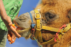 Giving Food to Camel. In Dusit Zoo Royalty Free Stock Images