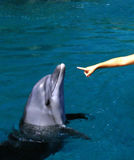 Giving hand to a dolphin Royalty Free Stock Photo