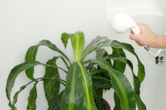 Giving Houseplant a Shower Stock Images