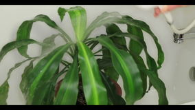 Giving Houseplant a Shower. Dracaena houseplant being given a shower in the bathtub to clean dust off and hydrate it stock video footage