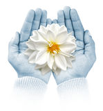 Giving life. Open hands keeping flower Royalty Free Stock Photo