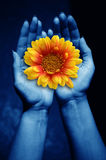 Giving life. Open female hands keeping a daisy flower as concept for giving life Stock Photos