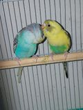 Giving love parakeets royalty free stock photos