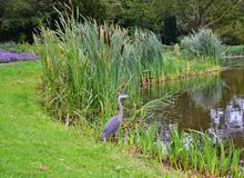 Netherlands. Den Haag. A gray heron on the bank of a pond... royalty free stock photo