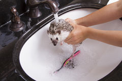 Giving a pet hedgehog a bath. A person holding it under the faucet to rinse off the soap Stock Photography