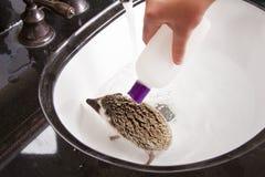 Giving a pet hedgehog a bath in the sink. Applying baby shampoo to hedgehog Stock Photo