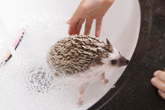Giving a pet hedgehog a bath in a sink. Giving a pet hedgehog a bath, filling the sink with soapy water to clean the hedgehog Stock Photography