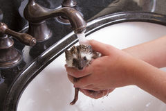 Giving a pet hedgehog a bath in a sink. Holding it under the water to rinse the soap off Royalty Free Stock Photo