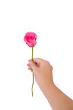 Giving a pink rose Royalty Free Stock Photo