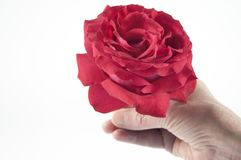 Giving a red rose Royalty Free Stock Image