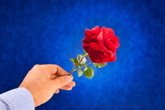 Giving a red rose. On blue background Royalty Free Stock Photos