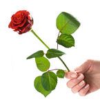 Giving a rose. Woman's hand holding red beautiful rose. Conceptual, isolated on white Stock Photos